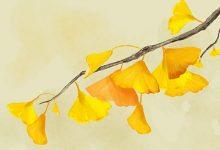 银杏叶泡水喝的功效-三思生活网