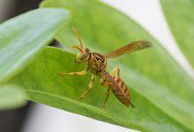 马蜂蛰了怎么消肿止痒-三思生活网