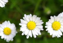 今年为什么流行小雏菊图案-三思生活网