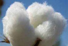 新疆棉花和普通棉花的区别 新疆棉花有哪些优点-三思生活网