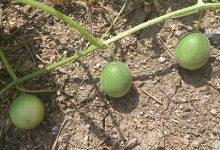 马泡瓜的功效与作用 马泡瓜的食用方法-三思生活网
