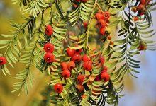 红豆杉泡水喝的功效 红豆杉泡水喝有什么好处-三思生活网