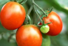 西红柿可以去斑吗 做法是怎样的-三思生活网