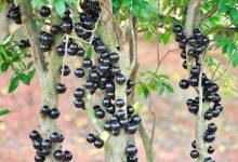 树葡萄的功效与作用 吃树葡萄的好处-三思生活网