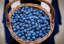 蓝莓怎么洗才干净 蓝莓的清洗方法-三思生活网