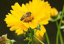 花粉的副作用 蜂花粉的副作用有哪些-三思生活网