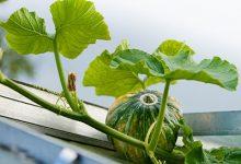 南瓜叶的功效与作用 吃南瓜叶的好处-三思生活网