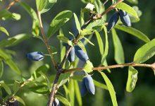 蓝靛果的功效与作用 吃蓝靛果的好处-三思生活网