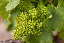 葡萄籽的作用 葡萄籽的功效与作用-三思生活网