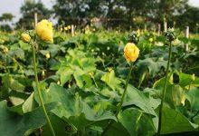 丝瓜花的功效与作用 丝瓜花的药用价值-三思生活网