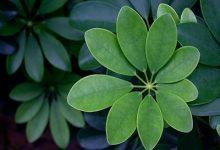 七叶莲的功效与作用 七叶莲的药用价值-三思生活网