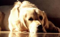 金毛遛完后肉垫竟然受伤 养护狗狗一定要注意的细节-三思生活网