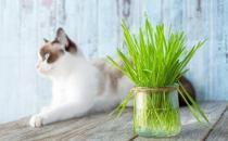 只知猫草能吐毛球可就落伍了 常见的猫咪食用植物-三思生活网