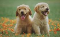狗假孕有奶了怎么办 狗假孕有什么症状-三思生活网